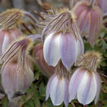 Mogop - Pulsatilla vernalis - From the Norwegian mountain flora. Photo taken in Arctic-alpine Botanic garden in Tromsø https://commons.wikimedia.org/wiki/File:Mogop_(2536242361).jpg